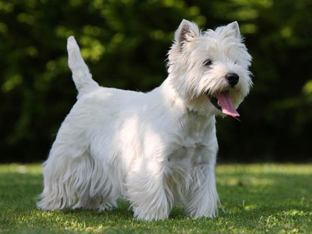 Chó sục trắng Tây Nguyên